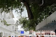 Amritsar - Templo de Oro - Arbol Centenario