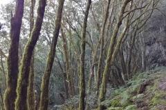 Bosque-Encantado-Anaga-Tenerife-27