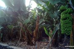 Plataneras cerca de Fuencaliente - La Palma