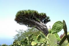 Drago Puntagorda - La Palma