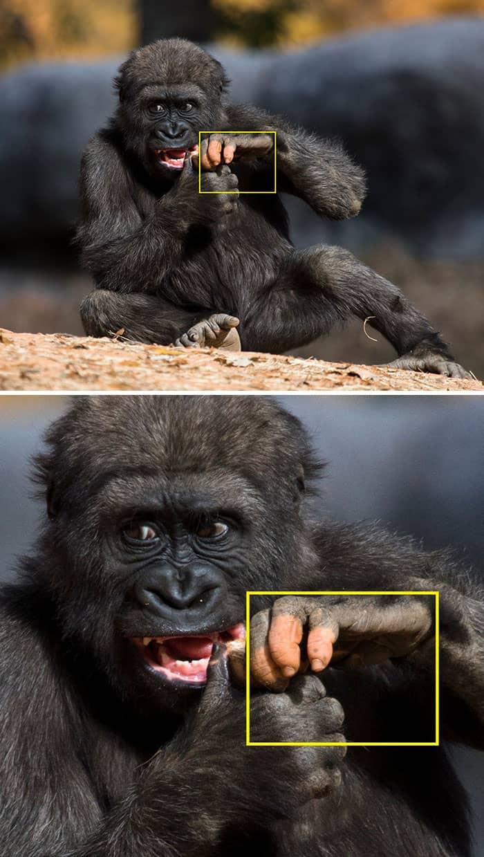 Anaka Gorila de Atlanta con manos