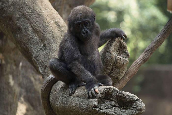 Anaka Gorila de Atlanta
