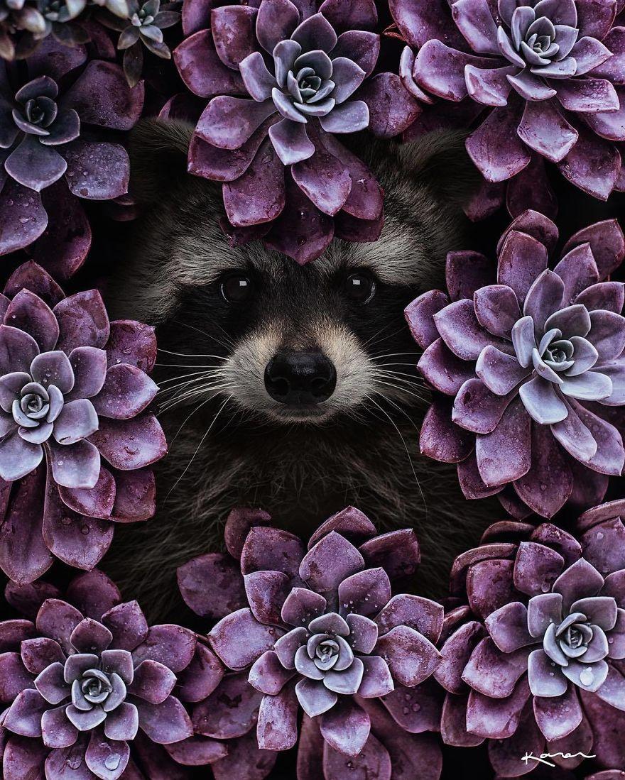 Mapache entre flores lila
