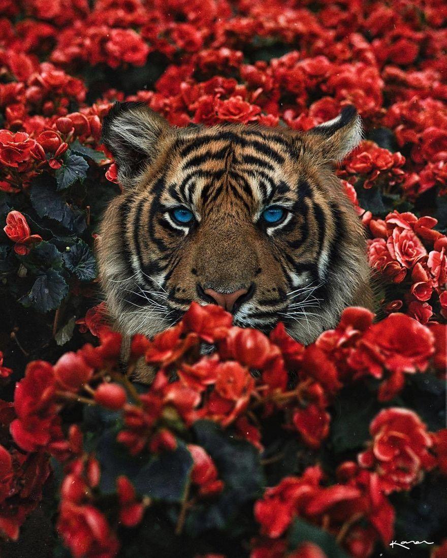 Tigre entre flores rojas